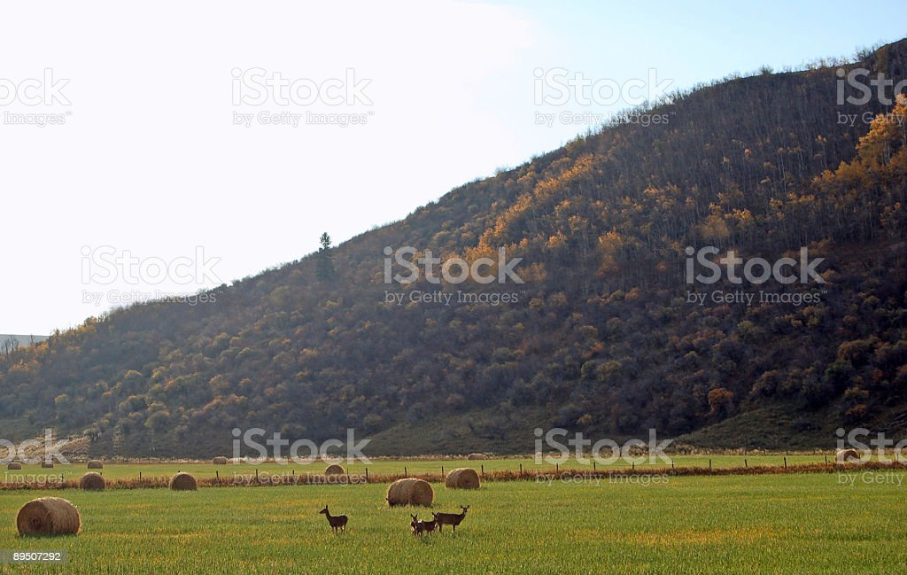 Hay Bales and Mule Deer royalty-free stock photo