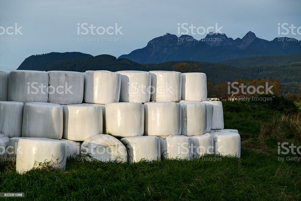 Hay bales packed in white plastic in Pitt Meadows,  Canada stock photo