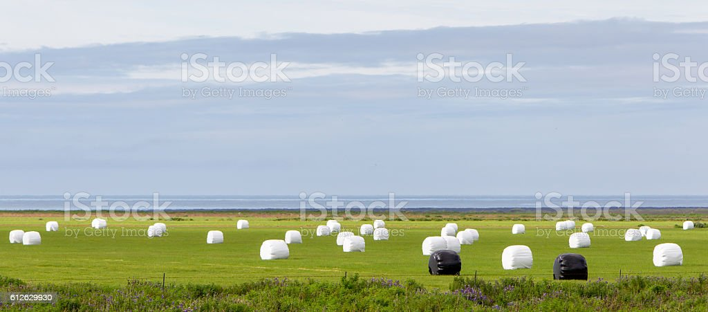 Hay bales sealed with plastic wrap stock photo