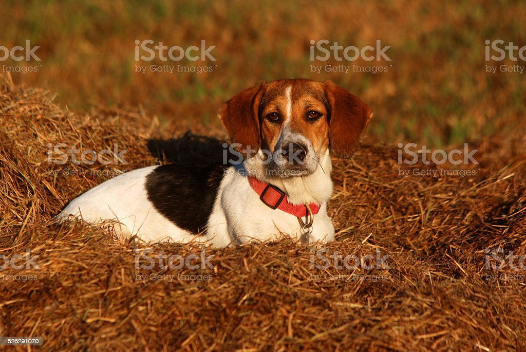 Hay Dog stock photo
