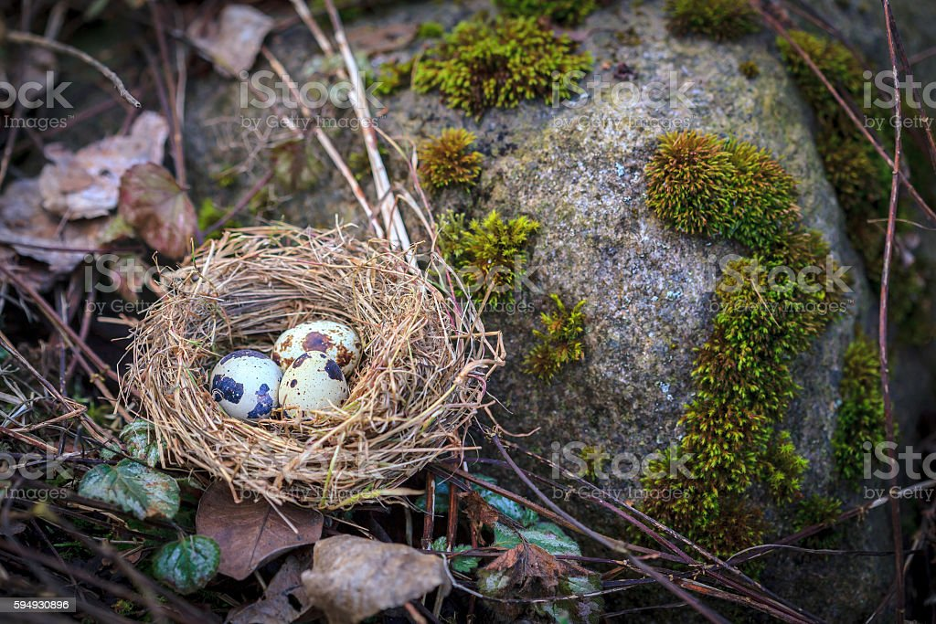 Hay nest with three quail eggs  by the moss stone stock photo