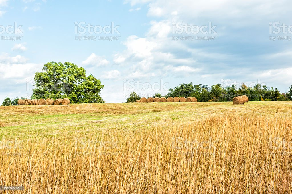Hay roll bales on countryside field with tall dry grass stock photo