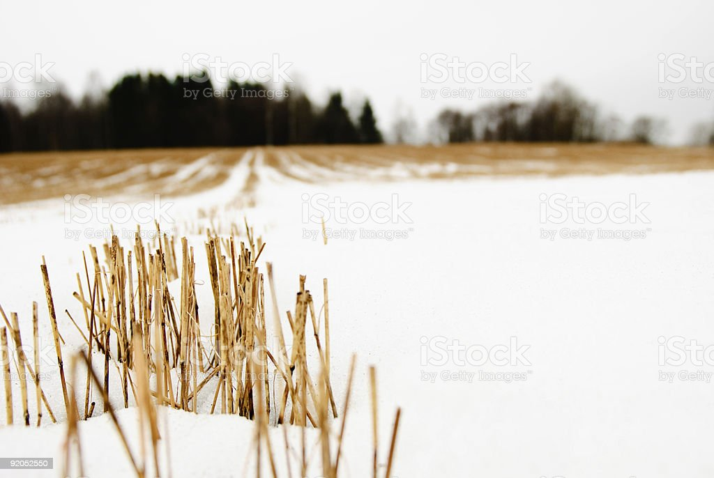 Hay stubble in a snow royalty-free stock photo