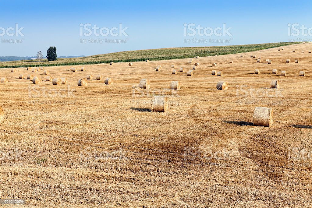 haystacks in a field of straw stock photo
