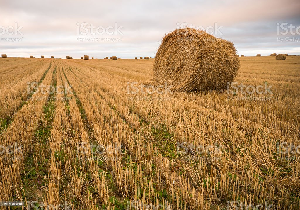 Haystacks on the field. Agricultural landscape stock photo