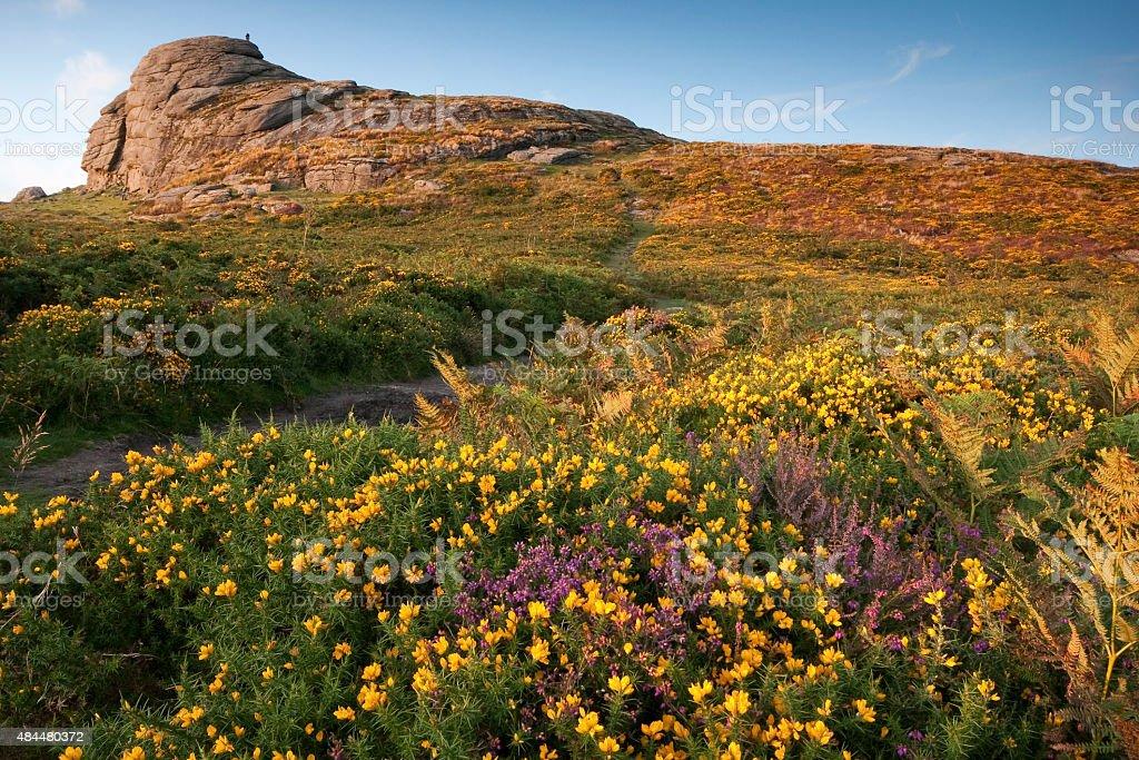 Haytor on Dartmoor, Devon with gorse and heather blooming stock photo