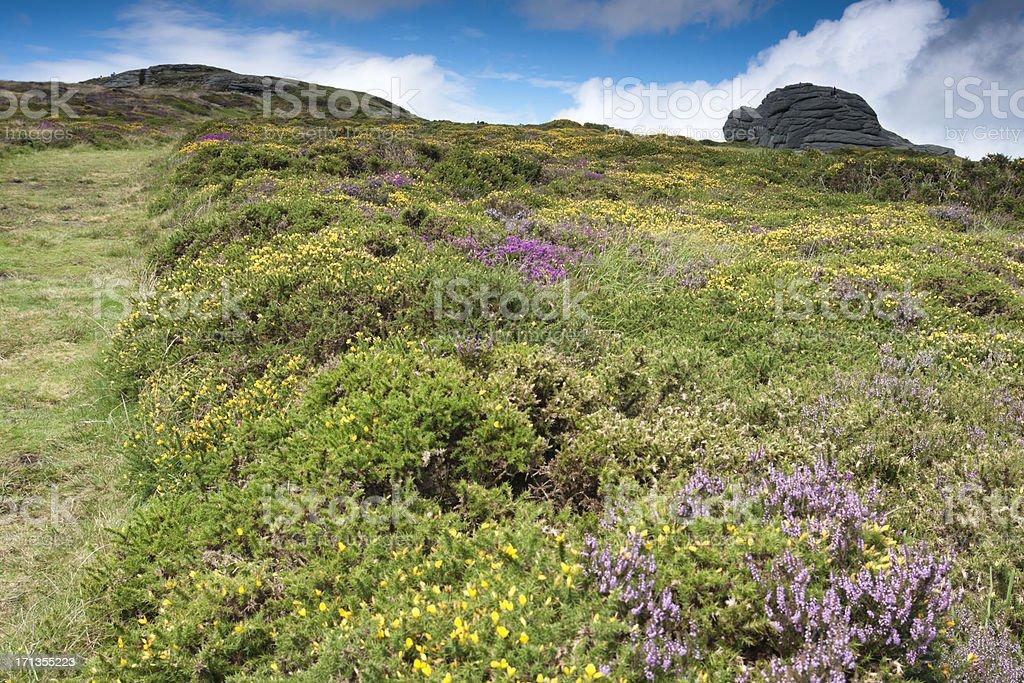 Haytor on Dartmoor in August with gorse and heather flowering stock photo