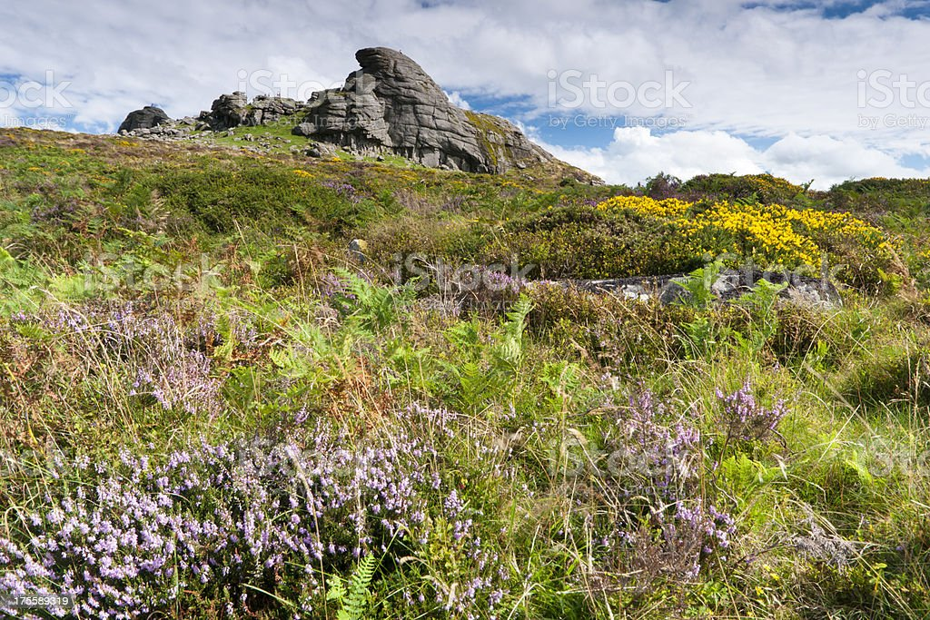 Haytor on Dartmoor in August with heather and gorse blooming stock photo