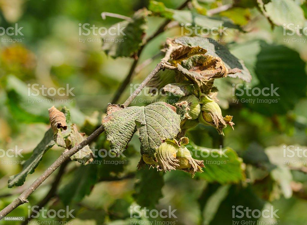 Hazel filbert tree with hazelnuts on the branch stock photo