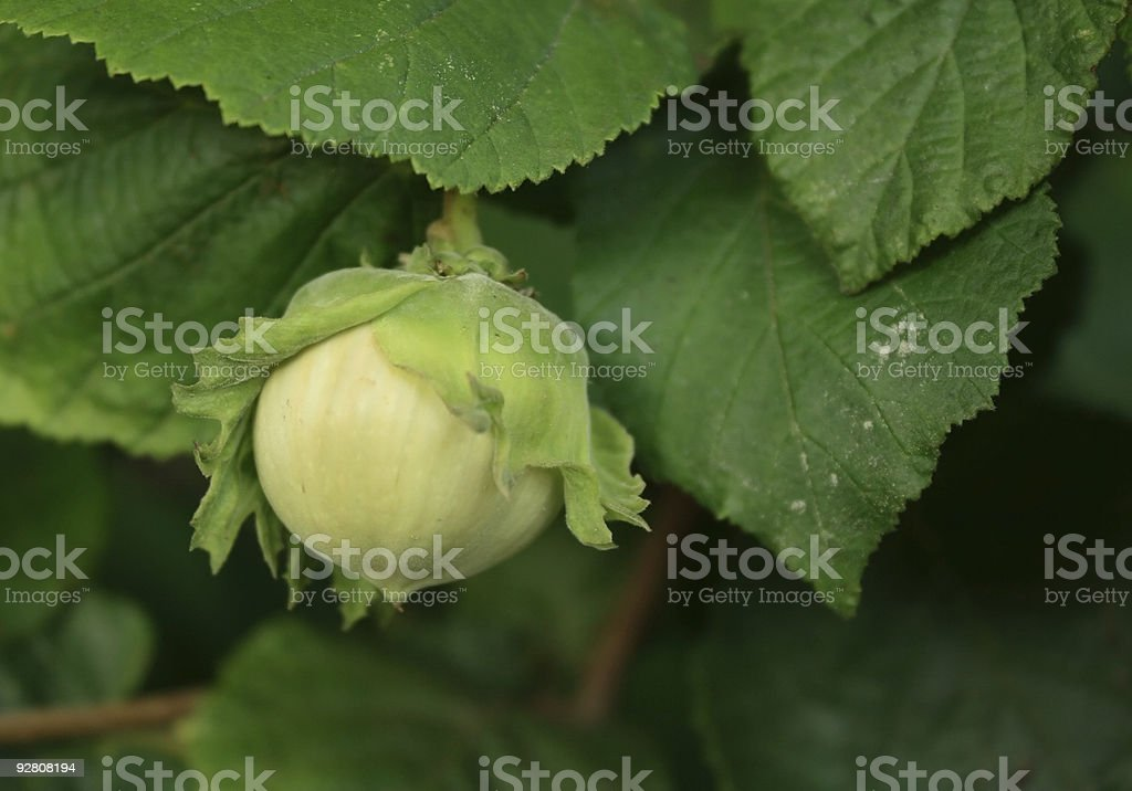Hazel nut royalty-free stock photo