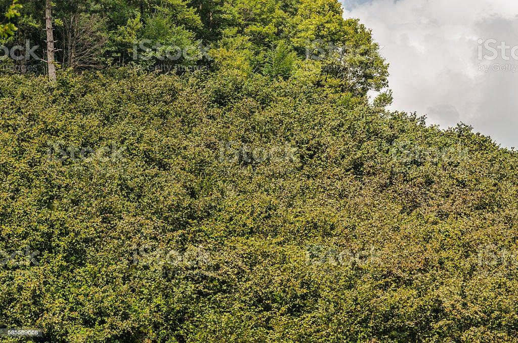 Hazel nut  tree plantation stock photo