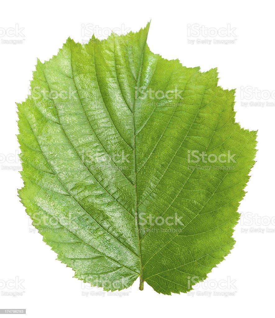 Hazelnut leaf royalty-free stock photo