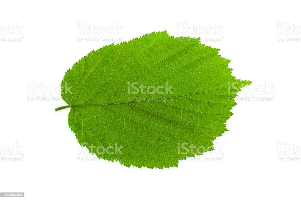 Hazelnut leaf stock photo