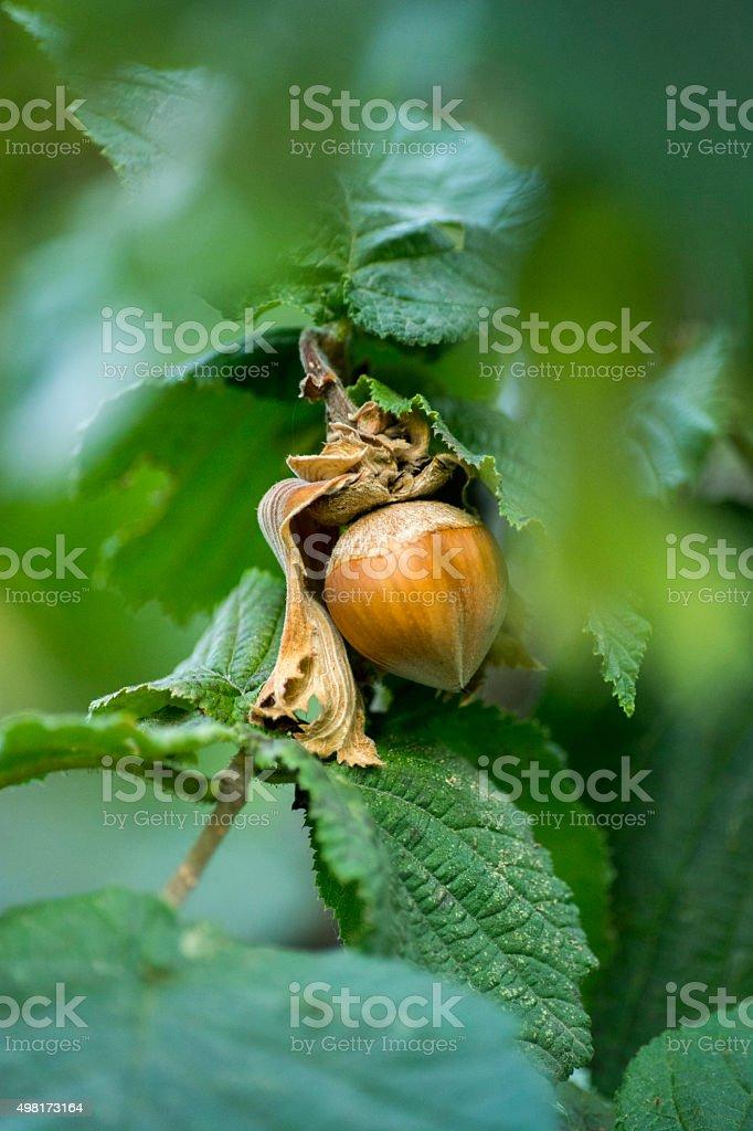 Hazelnut on Tree stock photo