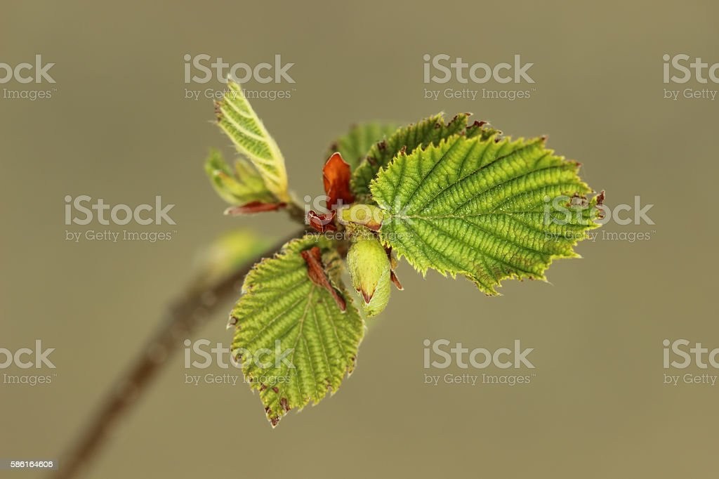 Hazelnut twig stock photo