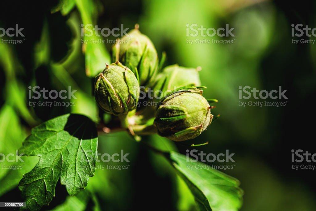 hazelnuts on a tree in the sun stock photo