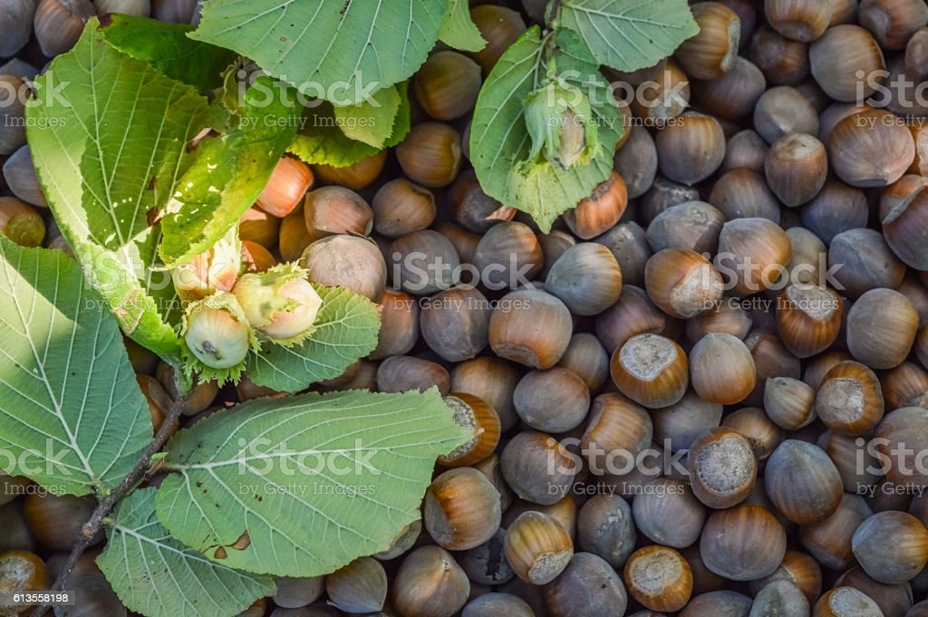 hazelnuts with twig and leaves stock photo