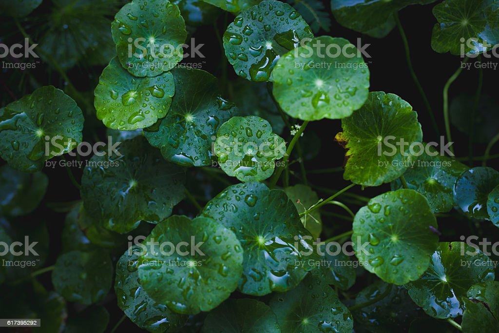 Hdrocotyle umbellata texture or background. stock photo