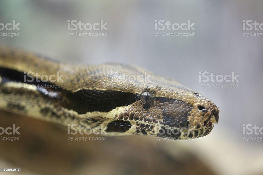 Head a Python Snakes stock photo