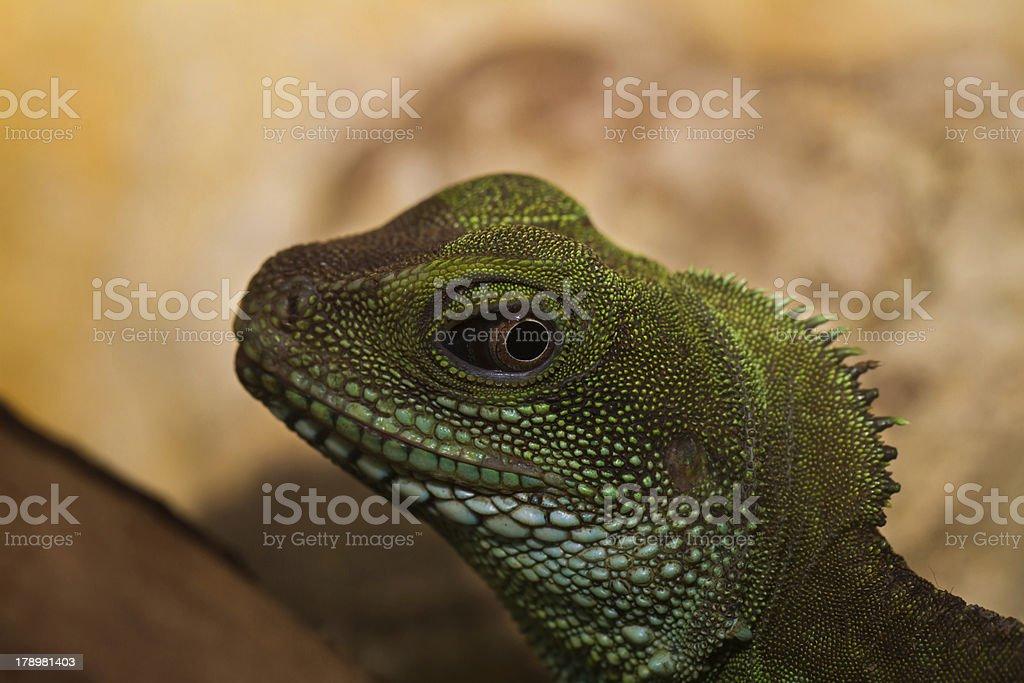 Head and eye of an adult agama (Physignathus cocincinu) royalty-free stock photo