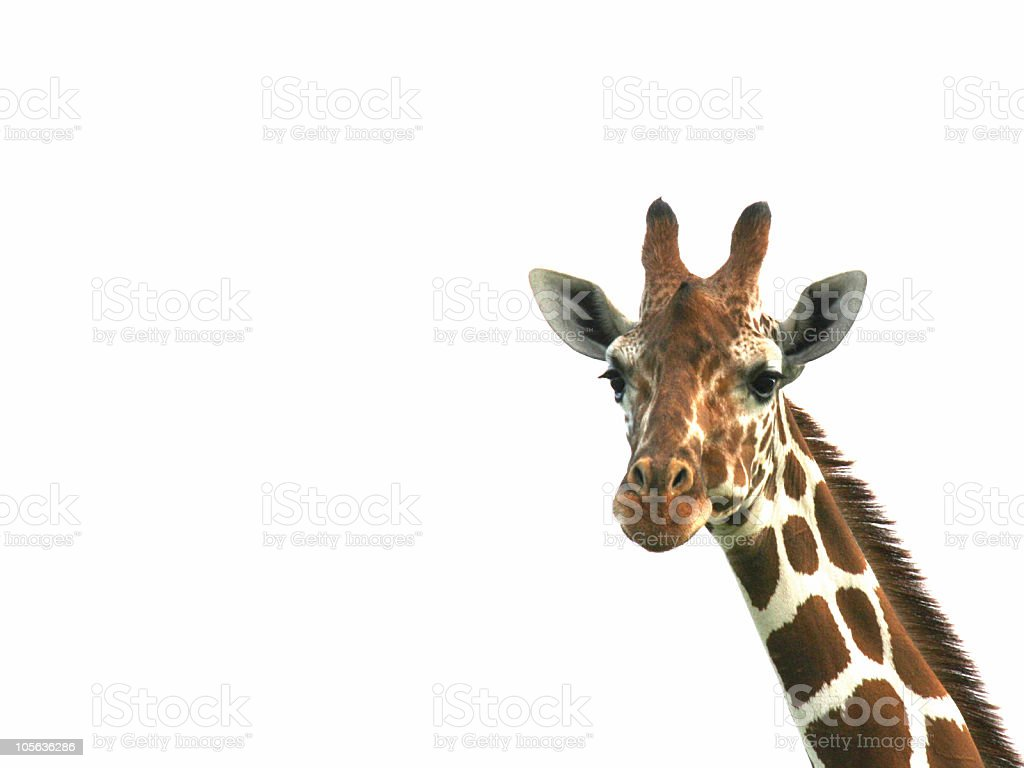 Head and neck of giraffe on white background royalty-free stock photo