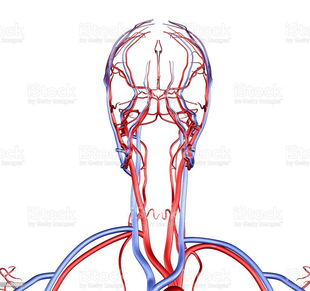 Head and Neck Vessels royalty-free stock photo