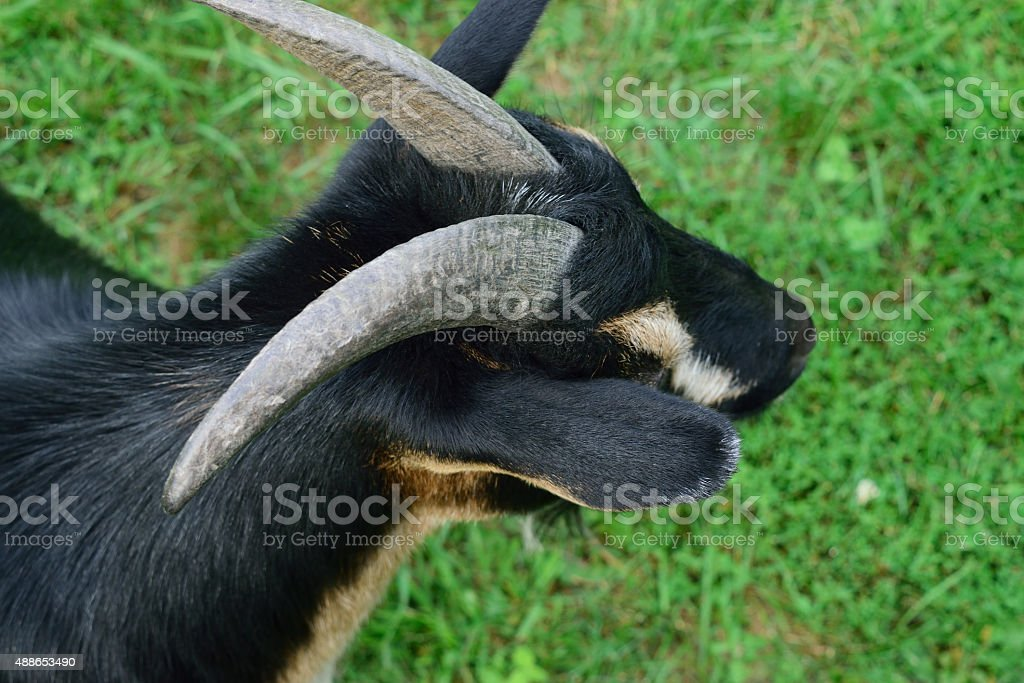 Head and Shoulder View of Horned Dwarf Goat stock photo