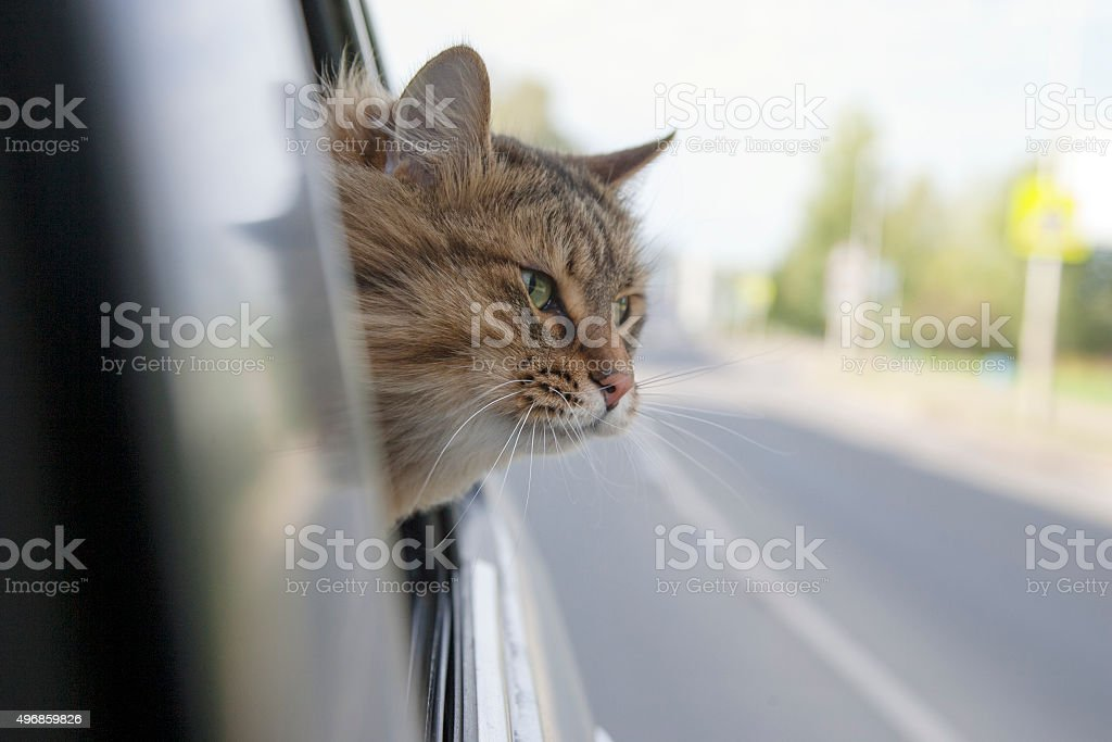 Head Cat  out of a car window  in motion stock photo