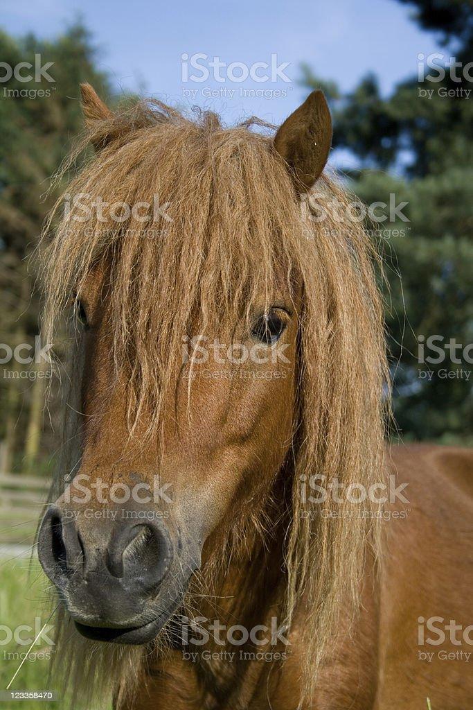Head close up of a cute shetland pony royalty-free stock photo