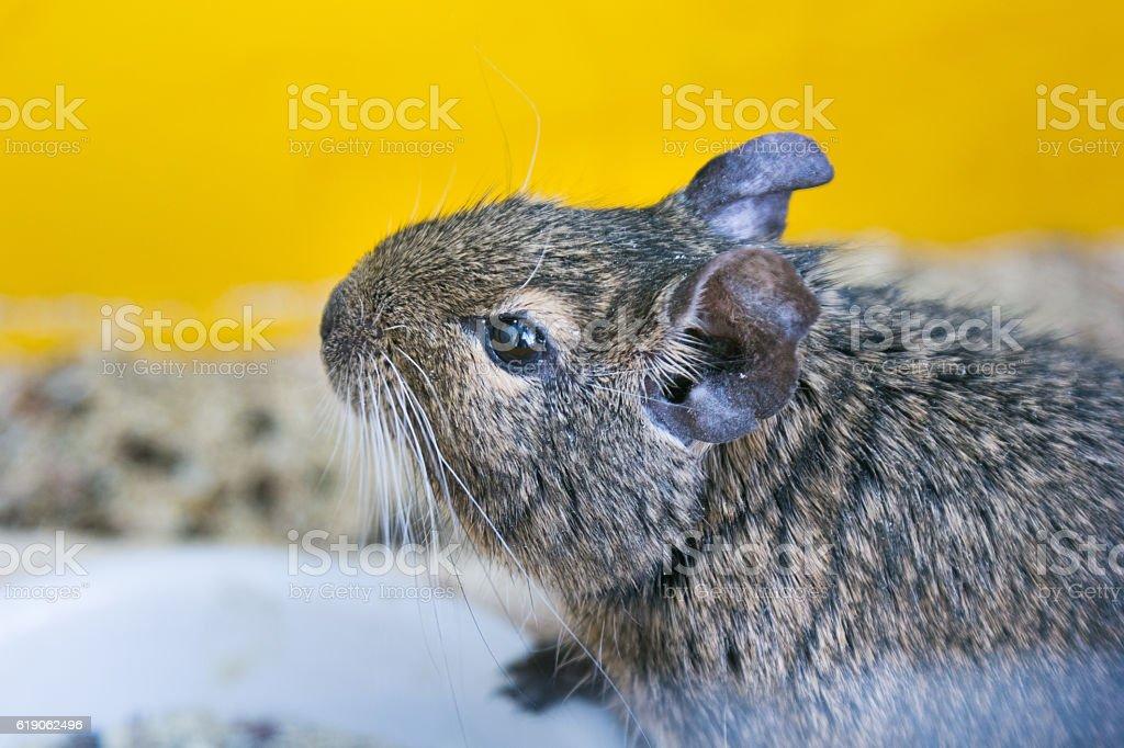 head degu stock photo