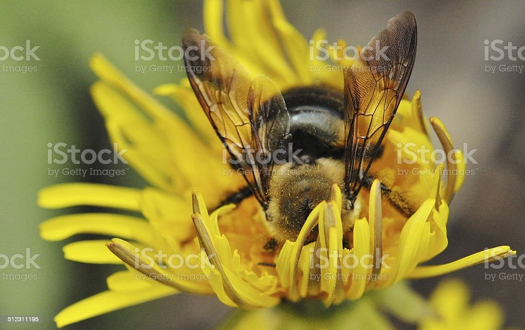 Head First - Pollinating Bee stock photo