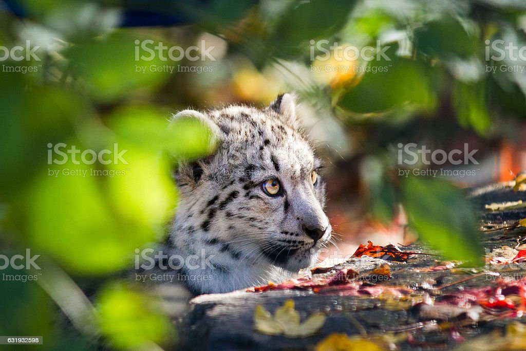 Head from a snow leopard stock photo