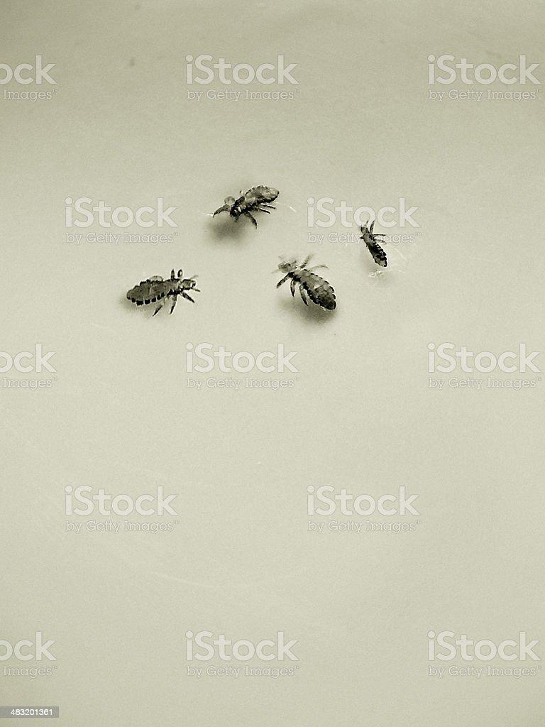 Head Lice stock photo