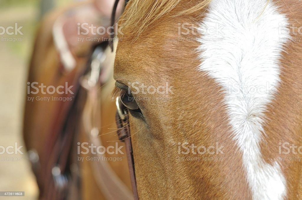 Szef brązowy Koń zbiór zdjęć royalty-free
