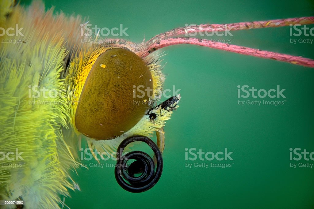 head of a butterfly (Colias comun) stock photo