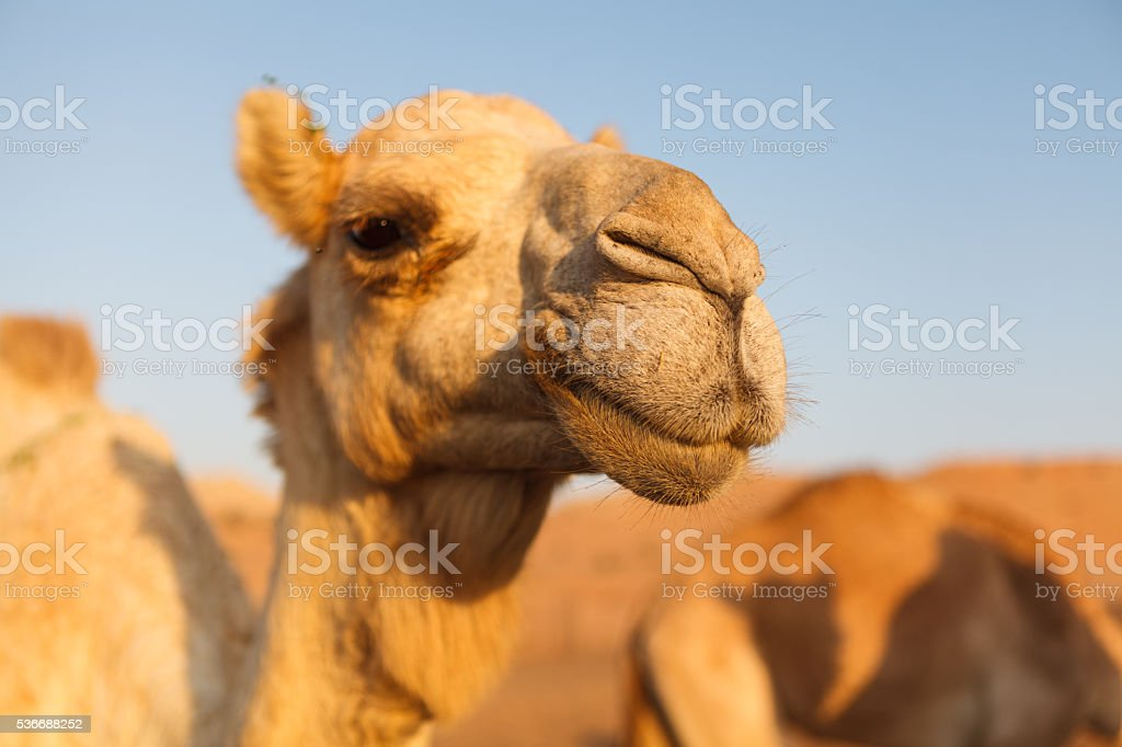 Head of a camel in dessert stock photo