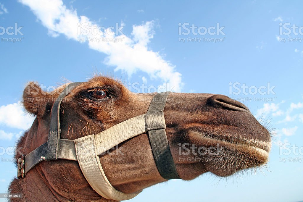 Head of a camel royalty-free stock photo