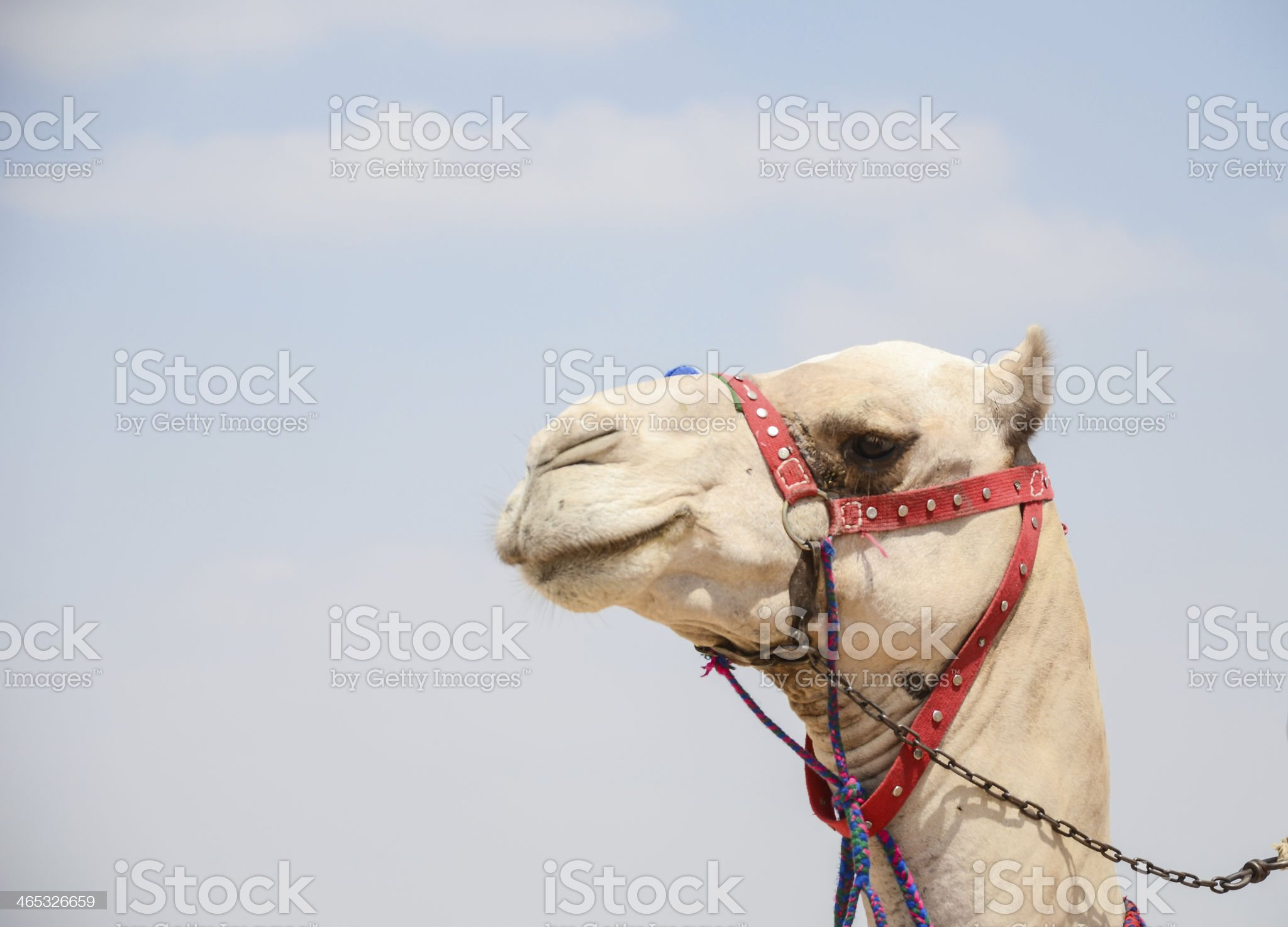 Head of a camel ,smiling  looking in lens royalty-free stock photo