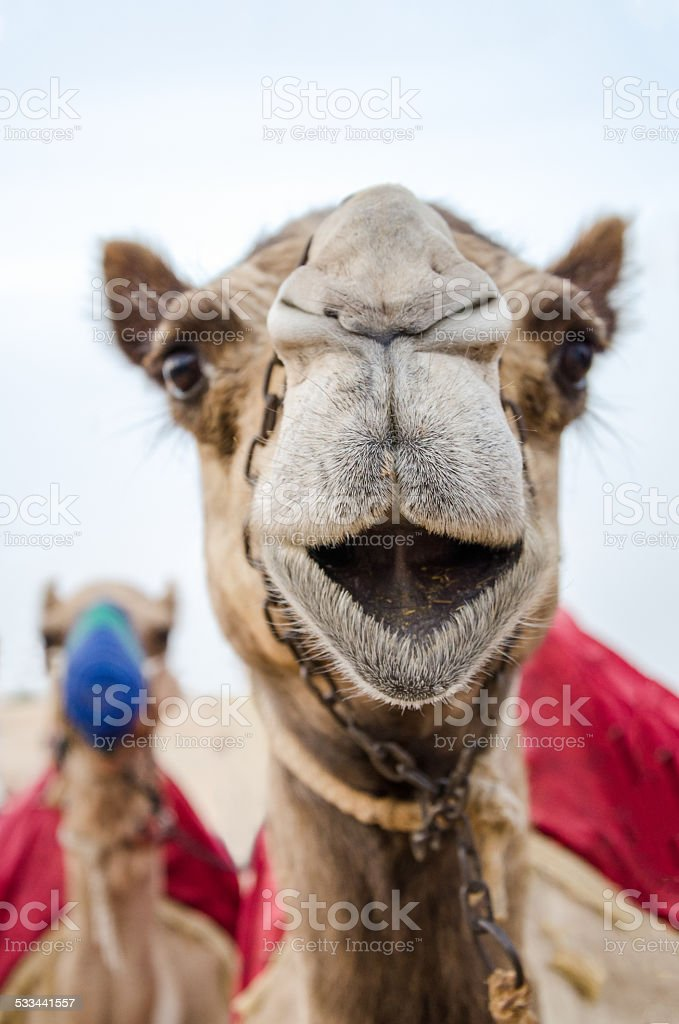 Head of a camel used for tourist rides stock photo