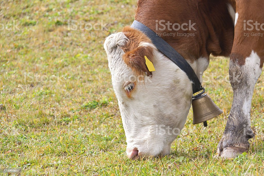 Head of a Cow stock photo