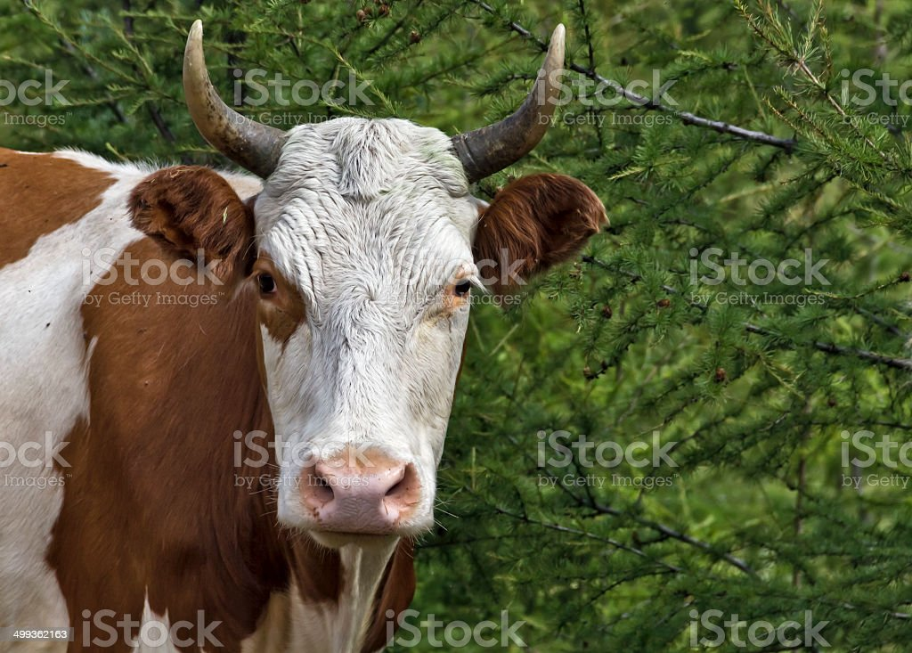 Head of a cow royalty-free stock photo
