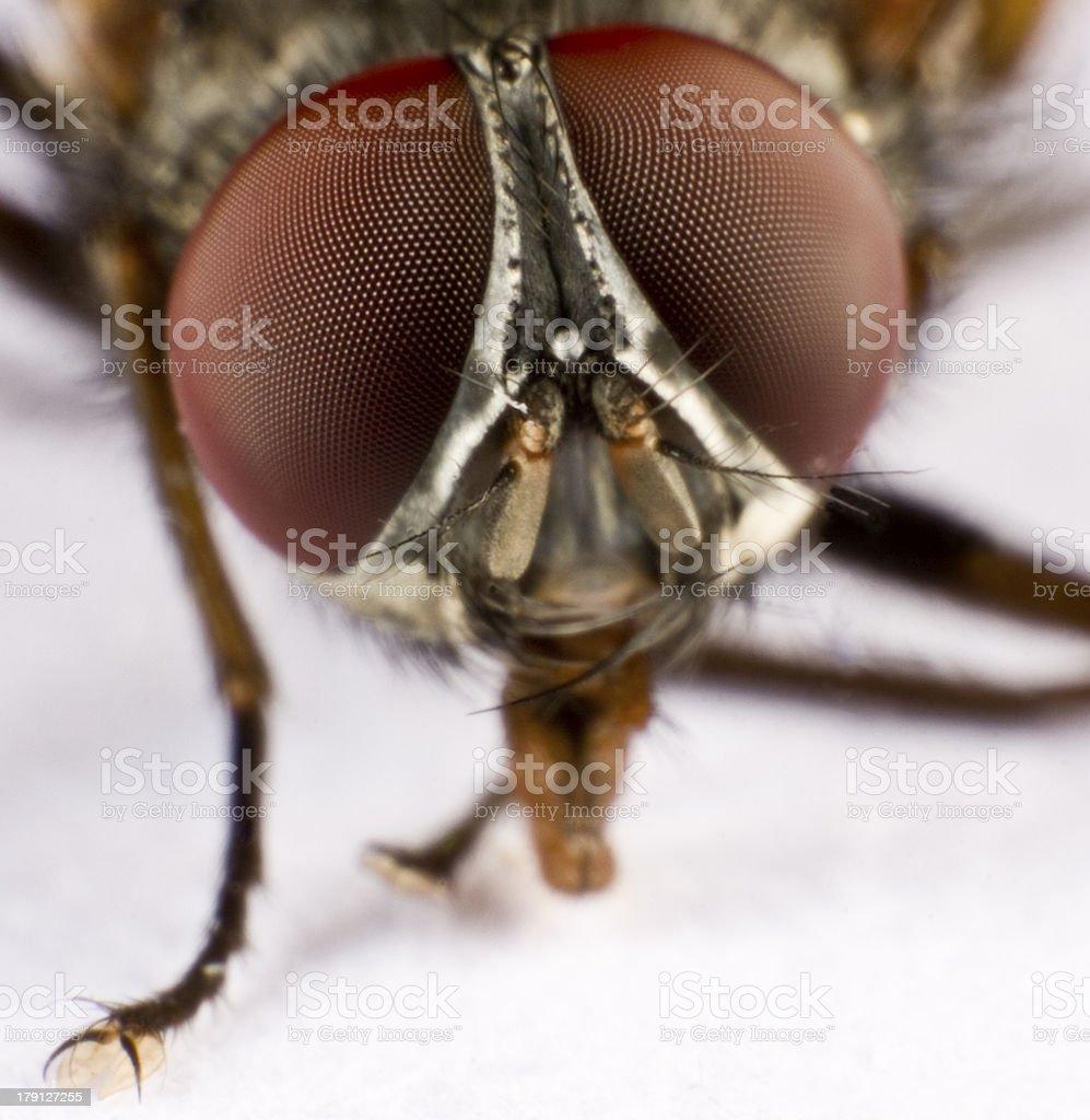 Head of a domestic fly - three royalty-free stock photo