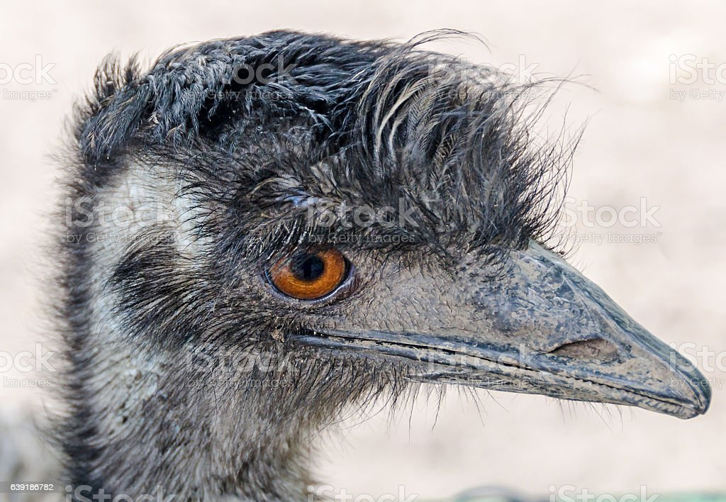Head of a emu bird, orange eyes, close up stock photo
