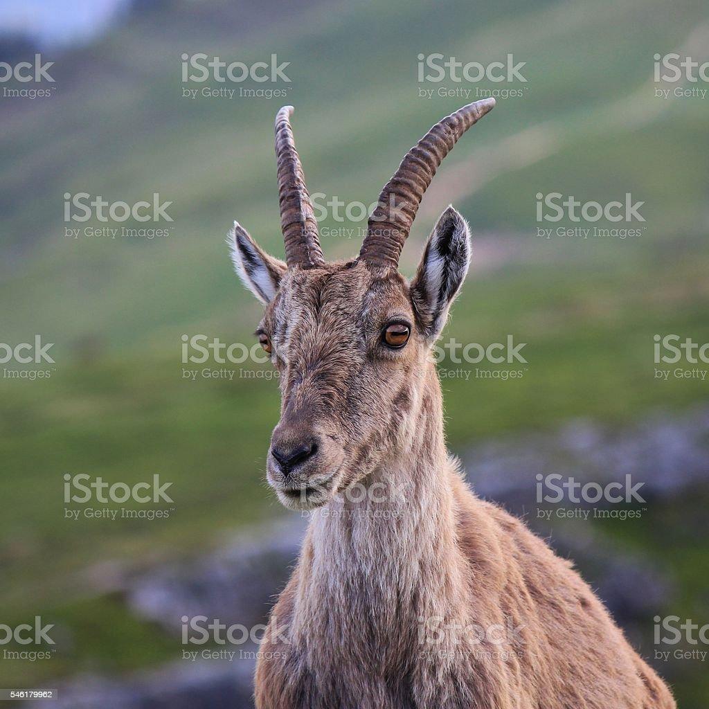 Head of a female alpine ibex stock photo