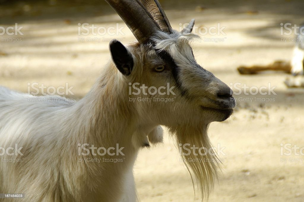 head of a goat stock photo