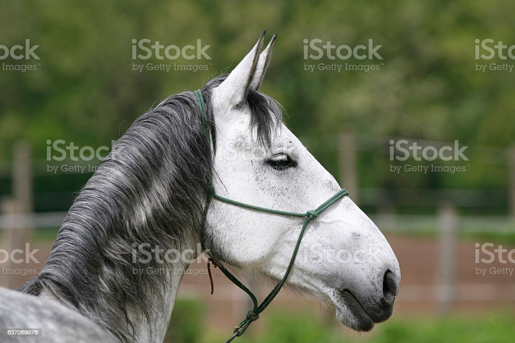 Head of a gray colored lipizzaner foal stock photo