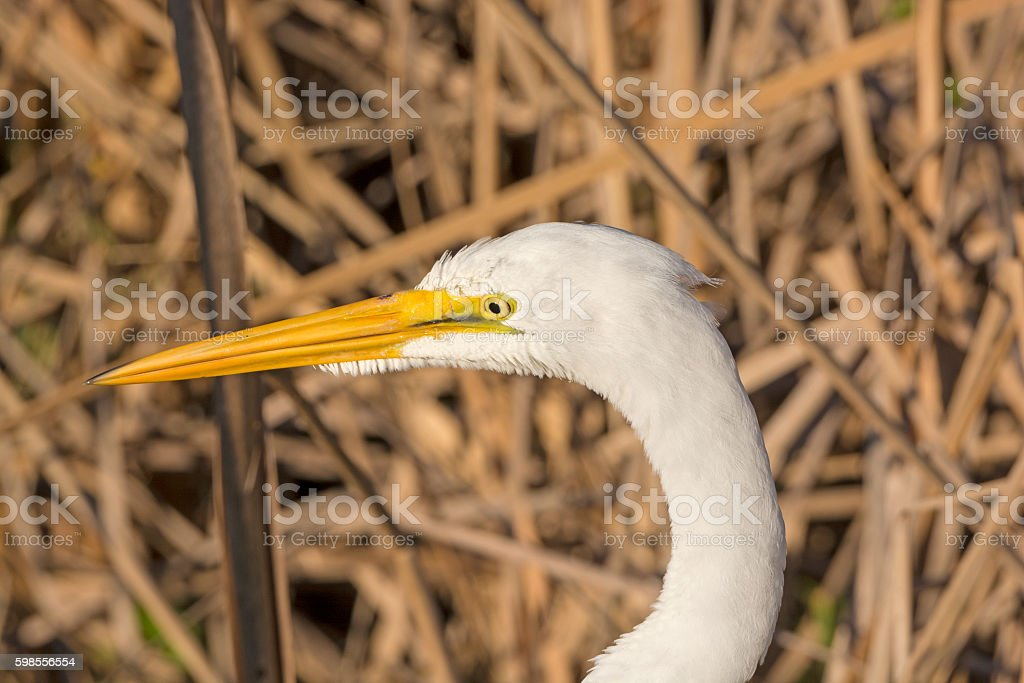 Head of a Great Egret stock photo