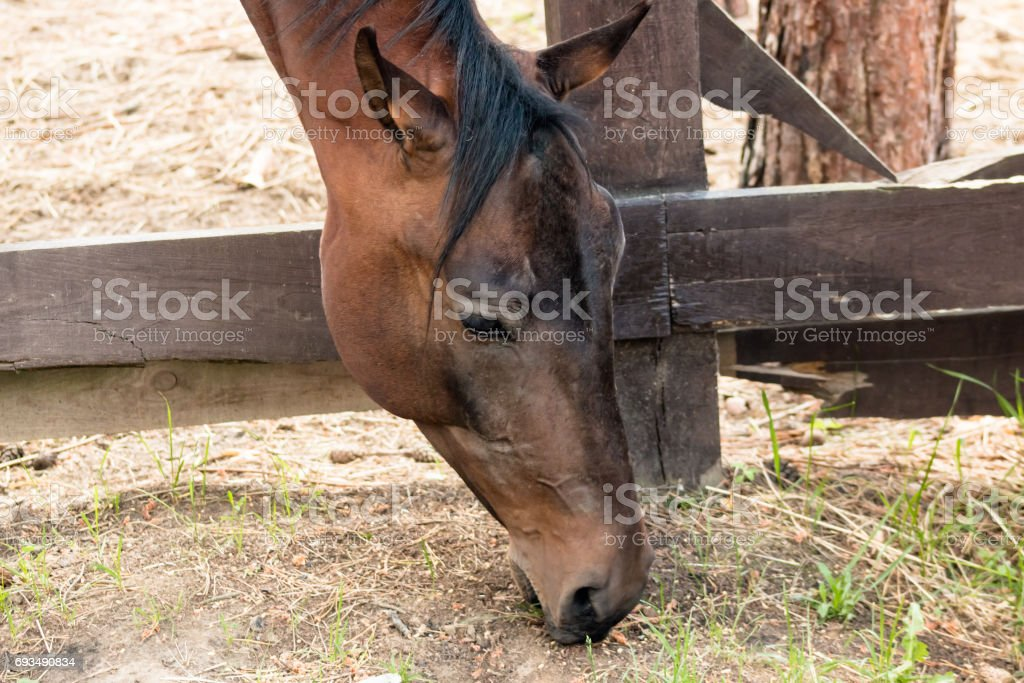 Head of a horse eating a green grass near a fence close up. stock photo