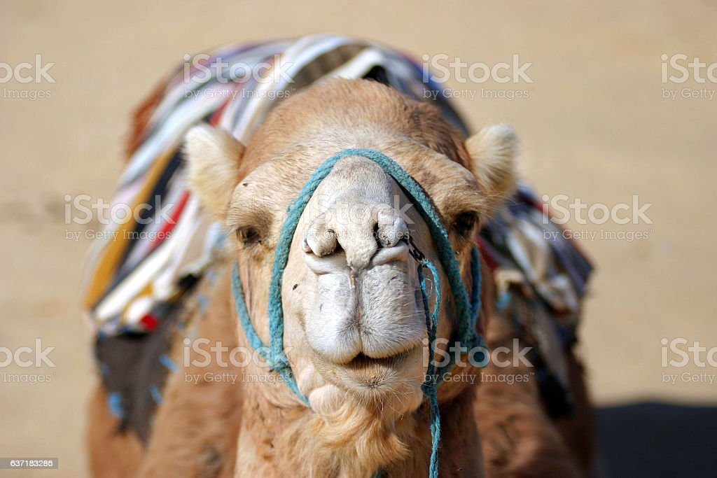 Head of a muzzled dromedar camel in the desert stock photo