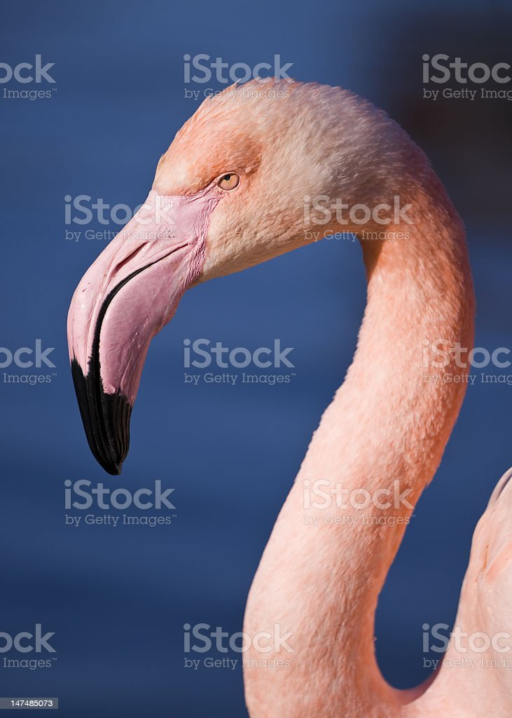 head of a pink flamingo royalty-free stock photo